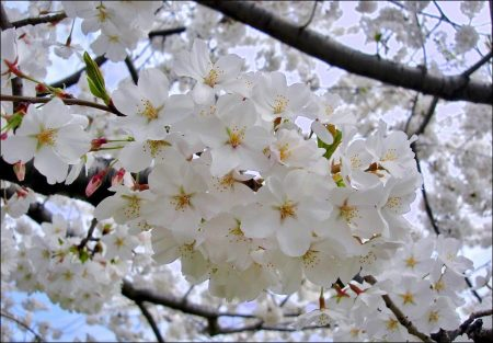 Yoshino: The home of cherry blossoms